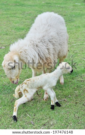 new born little lamb with mother