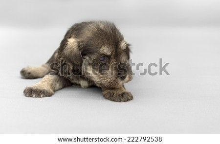 New born miniature salt and pepper schnauzer puppy - stock photo
