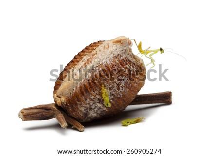 new born wood mantis and egg case on white background - stock photo