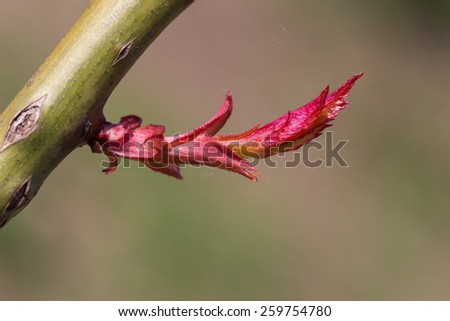 new bud of rose plant - stock photo
