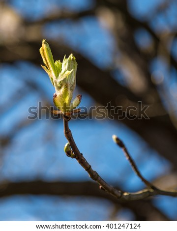 New buds on a tree starting to emerge - stock photo