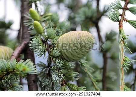 New cones Cedrus atlantica (Glauca Pendula), close-up - stock photo