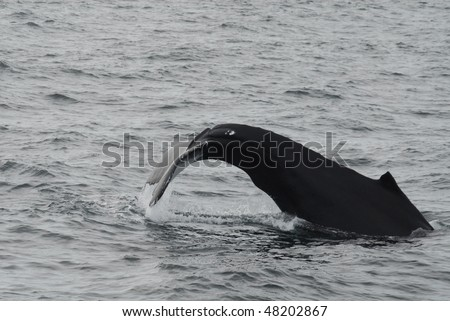New England Whale Watch, Humpback Whale tail, fin and head shots from Voyager III. - stock photo