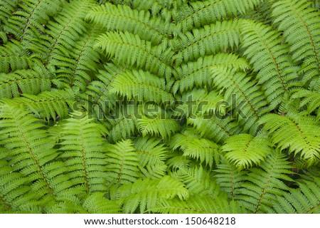 new frond of Australian tree fern - stock photo