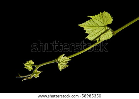 New grape vine leaf growth - isolated black background - stock photo