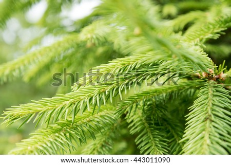 New green fir twigs in summer time.
