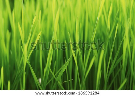 New Green Sprouted Wheat Grass  - stock photo