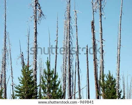 New Growth After Fire - charred trunks mark the 1988 Huck fire path, yet pine seedlings are rising among the standing snags. - stock photo