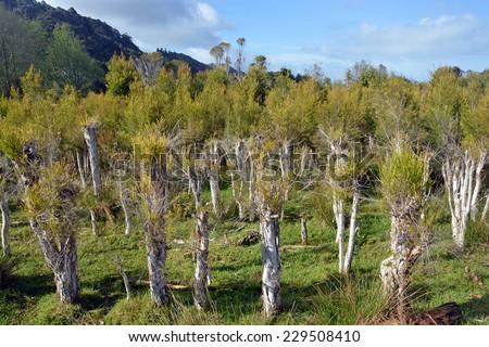 New growth on trees at a Tea Tree Plantation at Karamea, New Zealand. - stock photo