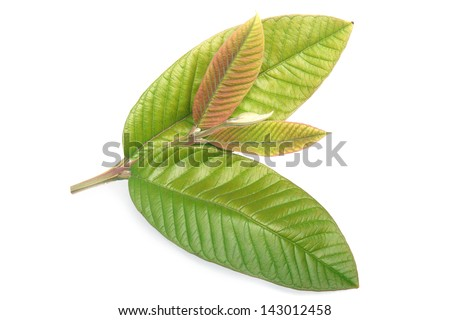 New Guava leaves on white background - stock photo