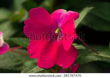 New Guinea impatiens' amazing red flower closeup (Impatiens hawkeri) - stock photo