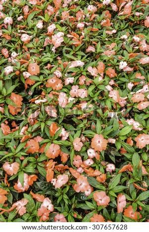 New Guinea impatiens (binomial name: Impatiens hawkeri 'Celebration Tropical Peach'), with raindrops, in summer garden - stock photo