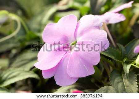 New Guinea impatiens' cute pink flower closeup (Impatiens hawkeri) - stock photo