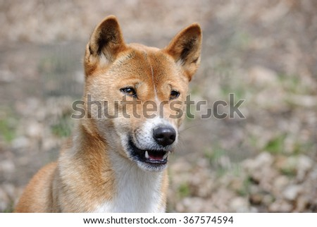 new guinea singing dog close up portrait
