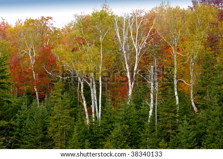 New Hampshire fall scene of white birches on red,orange and red leaf background - stock photo