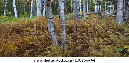 New Hampshire paper birch in autumn panoramic