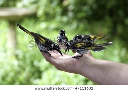 New Holland Honeyeaters eating out of the palm of a hand