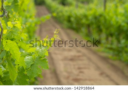 new leaves from grapes and grapes kidney - shallow depth of field - stock photo