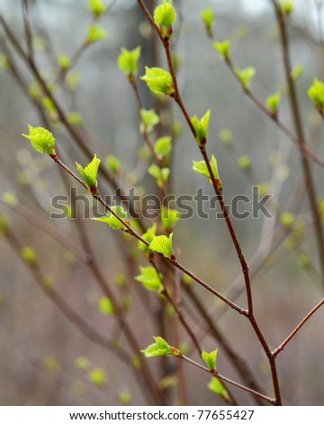 New leaves on a birch (betula) tree - stock photo