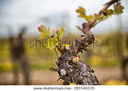 New leaves sprouting at the beginning of spring on a trellised vine growing in a vineyard in a winery, close up detail - stock photo