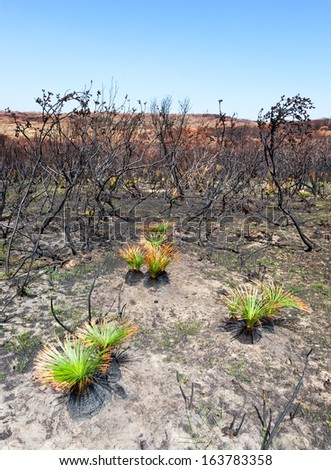 new life after bushfire Black Boys showing effect of fire and new life a fortnight after the fire - stock photo