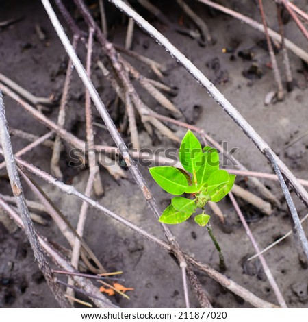 New Life in mangrove ,thailand. - stock photo