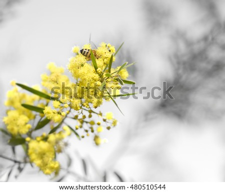 New life in spring, yellow Australian wattle on grey neutral background