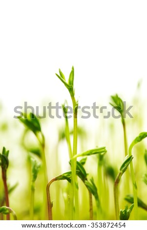 New life of  lentils - ftesh little green spouts on white background, close up. Macro. Eco concept. - stock photo