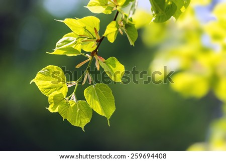 new linden leaf in morning forest - stock photo