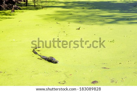NEW ORLEANS - MARCH 2014: Alligator laying still in the green water of the Bayou swamp - stock photo