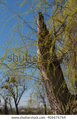 New power of the nature in the spring Trunk of a broken old tree, with a new branches in the early spring. Bright blue sky.  - stock photo
