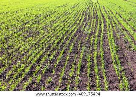 new shoots of a winter wheat selective focus - stock photo