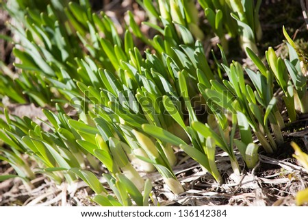 new spring sprouts of green grass closeup