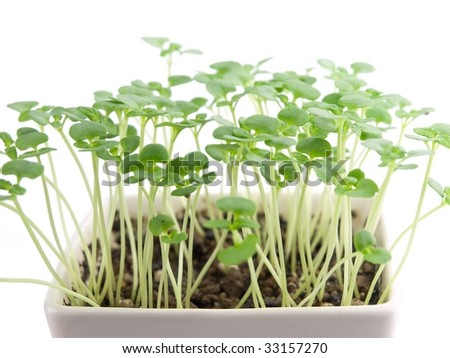 new sprouts growing from white pot isolated on white