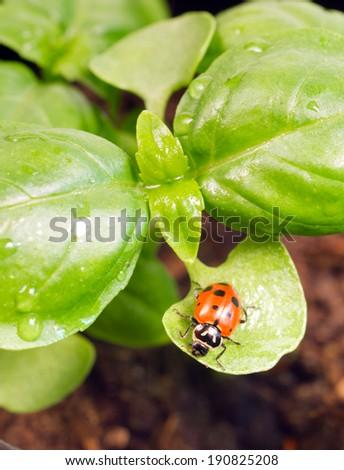 New Start PLant Sweet Basil Herb Leaf Ladybug Insect - stock photo