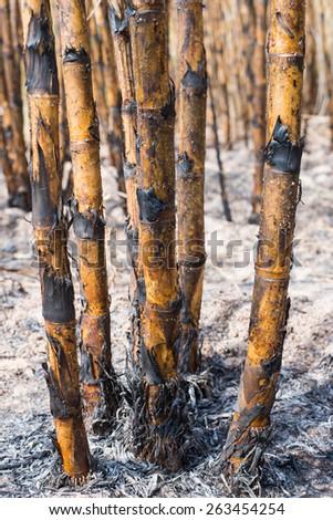 New style background,sugarcane field burned. - stock photo