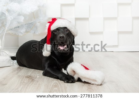 New Year Black labrador retriever wishes Merry Christmas - stock photo