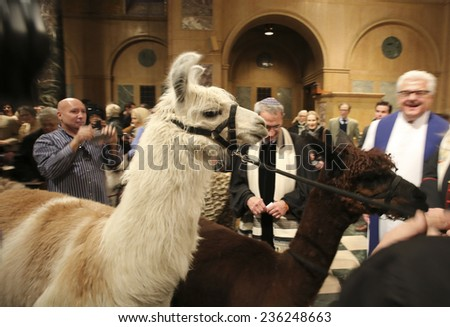 NEW YORK CITY - DECEMBER 7 2014: the ASPCA & NY Post hosted its sixth annual blessing of the animals at Christ Church on Manhattan's Upper West Side. Llamas lead the way in procession of animals