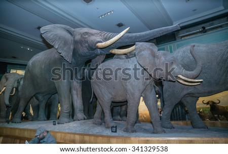 NEW YORK - NOV 17, 2015: group of elephants on display in the American Museum of Natural History in NYC. AMNH is a famous museum in Manhattan, NYC, USA. - stock photo