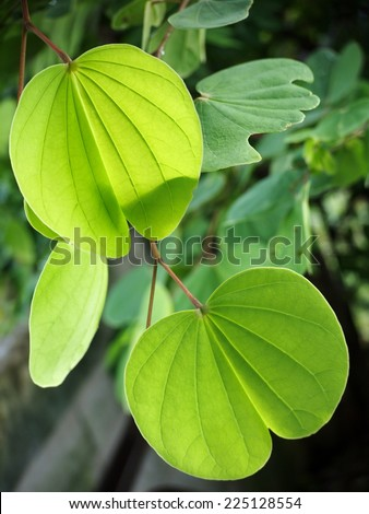 new young light and dark green colorful round  leaves growing blooming on the tropical trees after rainy week under bright natural sunlight in jungle with natural bokeh background - stock photo