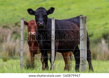 New Zealand cattle, cows on the farm
