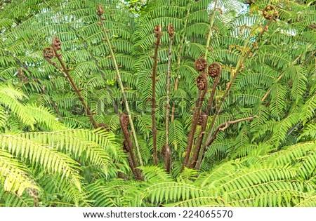New Zealand fern koru growing in botany garden - stock photo