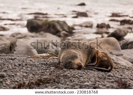 New Zealand Fur Seal (Arctocephalus forsteri) - stock photo