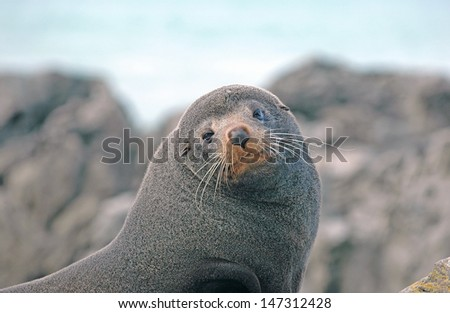 New Zealand Fur Seal, Kaikoura, New Zealand - stock photo