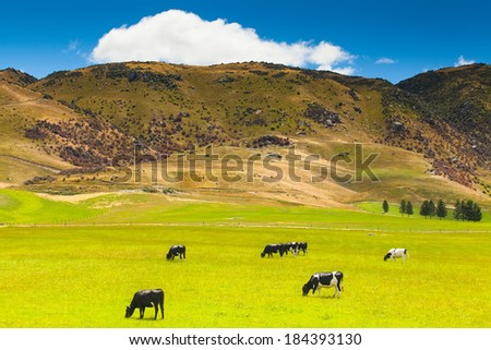 New Zealand landscape with farmland and grazing cows, calves