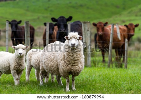 New Zealand live stock, sheep and cattle on a farm - stock photo
