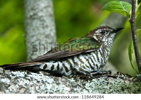 New Zealand native bird Pipiwharauroa also know as the shining cuckoo - stock photo
