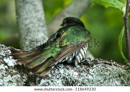 New Zealand native bird Pipiwharauroa also known as the shining cuckoo showing the feather coloring - stock photo