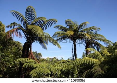 New Zealand native bush forest. Green hill at Coromandel peninsula. Punga endemic tree ferns. - stock photo