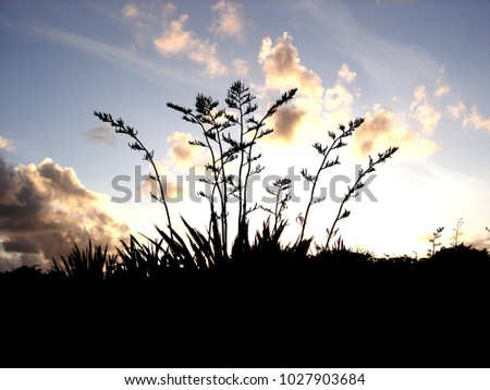 New Zealand native flax silhouette against dawn sky
